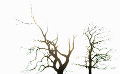 what next? (conall..) Tags: brexit contrast trees ashtrees ash extremes sun backlight bright dark intothelight backlit fractured cracked overexposed blownout twotrees rowallane