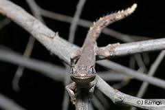 Northern Spiny-tailed gecko (Strophorus ciliaris) (J.Ramos15) Tags: lizard gecko reptile australia strophorus diplodactylidae western kimberley