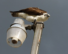 go away (Dianne M.) Tags: osprey nature outside light feeding metal watching bird feathers florida