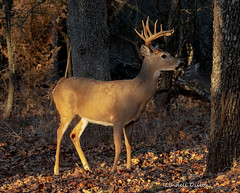 Buck in sidelight (Lindell Dillon) Tags: buck whitetail deer wildlife nature sidelight goldenhour oklahoma wildoklahoma