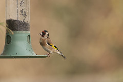 Goldfinch (Donna Joyce) Tags: goldfinch uk bird wildlife kent garden niger seed