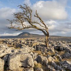 Living on the edge. (Explored). (miketonge) Tags: miketongephotographycouk d750 nikon tree hawthorn limestone limestonepavement inglebrough ingleton twistletonscar yorkshiredales