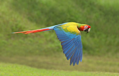 Scarlet Macaw in flight (ashockenberry) Tags: ashleyhockenberryphotography animal avian vacation costa rica reserve rainforest eco travel tourism tree tropical habitat jungle light majestic mountains exotic safari wildlife wildlifephotography wild wilderness nature naturephotography natural native grassland green forest feathers beautiful bird blue red river