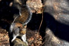 Squirrel in Central Park (Glenn Pye) Tags: squirrel centralpark animal animals nikon nikond7200