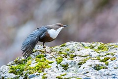 Cincle plongeur-Cinclus cinclus (PatNik01) Tags: cincleplongeur cincluscinclus oiseau bird jura france nikon rocher mousse riviere eau