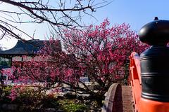 DSC_0136 (ponkiti3) Tags: 下鴨神社 京都 梅 植物 風景