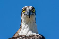 osprey up close (Mel Diotte) Tags: wild osprey close up bird raptor eyes stare nature nikon d500 200500mm explore mel diotte