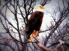 Justice SCREENSHOT 3-3-2019 (3) (THE Halloween Queen) Tags: eagles eagle wildlife bald baldeagles nationssymbol patriotic