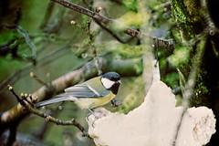 Garden Bird Bokeh - 17. März 2019 - Tarbek - Schleswig-Holstein - Deutschland (torstenbehrens) Tags: canon eos 40d garden bird bokeh 17 märz 2019 tarbek schleswigholstein deutschland