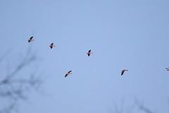 American White Pelicans (astro/nature guy) Tags: illinoisbird bird urbanabird meadowbrookparkbird meadowbrookpark pelican americanwhitepelican