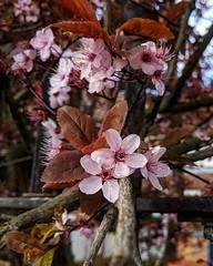 Pink flowers and the imminent spring (dksesha) Tags: seshadri dhanakoti harita menaka google pixel tilottama boroughofhounslow aldi sesh seshfamily haritasya vilambisamvatsara googlepixel3xl googlepixel pixel3 pixel3xl hounslow hiberniaroad