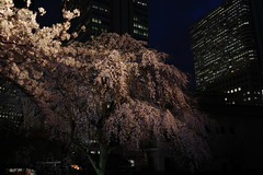 ji Temple Sakura blossoms 05 (HAMACHI!) Tags: tokyo 2019 japan ricoh ricohimaging ricohgr ricohgriii ricohgr3 gr3 griii gr weepingcherry 常圓寺 joenjitemple sakura cherryblossoms cherryblossom cherry night nightscene nightscape nightview lightup flower