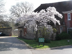 Looks like spring! (catrionatv) Tags: winchester pilgrimsschool innerclose winchestercathedral road kerb grass flintwalls dendrochronology treerings 1690 1400s 1290s medieval cathedralchoiristers preparatoryschool hammerbeamroof trees flowers petals blossom