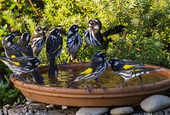 New Holland Honey Eaters (Steven Penton) Tags: tasmania australia new holland honey eaters birds