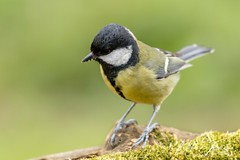 Great Tit (Parus major) (PhasmatosOculus) Tags: april 2019 april2019 bird birds rivernene barnwellcountrypark barnwellpark barnwell country park northamptonshire wildlifeanimal wildlife animal animals wildlifeanimals matthewfarrugia matthew farrugia centricmalteser canon6dmkii canon 6d mkii eos6dmkii canoneos6dmkii eos canoneos eastanglia 6dmkii phasmatosoculus greattit parusmajor