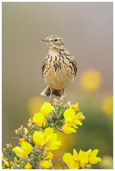 Meadow Pipit (Brian P Slade Photography) Tags: meadowpipit pipit birds birding birdwatching bird uk ukwildlife ukbirds gorse wildlifephotography wildlife animals mammals ornithology avian springwatch spring greenham berkshire berkshirebirds brianpsladephotography brianpslade canonphotography canon sigma sigmasports nature naturephotography heathland