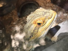 Glass & glare (beachkat1) Tags: herpetology herp reptile beardedlizard