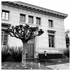 The Guardian (Melinda * Young) Tags: blackandwhite tree door academic building uc campus californiahall londonplanetree pruned pollarded landscape portal portico doorway art architecture classical berkeley framed flickr editor mac iphone