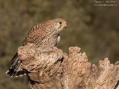 Common Kestrel (Falco tinnunculus) (www.mikebarthphotography.com 2M Views thanks !) Tags: falcotinnunculus commonkestrel