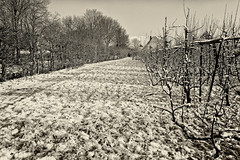 In Older Times We Had Snow! (Alfred Grupstra) Tags: blackandwhite nature tree ruralscene oldfashioned retrostyled outdoors landscape winter plant nopeople agriculture field snow lightingtechnique season farm landscaped nonurbanscene old