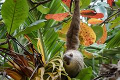 Paresseux/Oso perezozo 2 (Elf-8) Tags: sloth palmtree nature animal tropical costarica