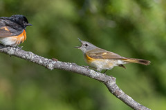 American Redstart (Joe Branco) Tags: macro photoshop lightroom ontario canada branco warbler americanredstart birds bird joe nature joebrancophotographer grass nikond850 wildlifephotographer wildlife green