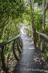 Tree canopy walkway at Kirstenbosch National Botanical Garden (Rob Huntley Photography - Ottawa, Ontario, Canada) Tags: africa botanicalgarden capetown kirstenbosch kirstenboschnationalbotanicalgarden nationalbotanicalgarden southafrica flora photo photograph photography treecanopywalkway