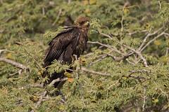 yellow-billed kite (larslaguna) Tags: fåglar gulnäbbadglada gambia rovfåglar yellowbilledkite milvusaegyptius fågel rovfågel