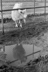 Look-Alike (squirtiesdad) Tags: firenze goat pet animal livestock corral puddle reflection diyselfscanning selfdeveloped vivitar 220sl super takumar 55mm f18 epson v600 monochrome blackandwhite bw bn analog analogue arista aristaedu iso100 35mm film