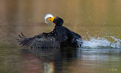 Double crested cormorant with trout (Thy Photography) Tags: fish rainbowtrout sunrise sunset california backyard nature photography outdoor animal wildlife doublecrestedcormorant