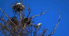 Fischreiher beim Brüten ! (renatedunkel) Tags: vögel himmelblau