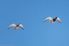 Mallard Pair (AphidmanCalgary) Tags: calgary alberta canada ca duck bird
