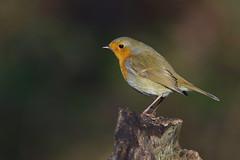 K32P7712c Robin, Lackford Lakes, January 2019 (bobchappell55) Tags: wild wildlife nature bird suffolk lackfordlakes woodland robin erithacusrubecula