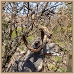 Call me Curly..... (Johann (Still Me!)) Tags: curly kudu koedoe square squareformat makemesmile johanndejager ef70300mmf456isusm canoneos7dmarkii