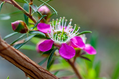 Australian Tea Bush Flower (yc4646) Tags: australianteatree leptospermum leptospermumlaevigatum magnoliophyta magnoliopsida myrtaceae angiospermes dicots dicotylédones floweringplants myrtles phanérogames plantesàfleurs plantesàfruits plants teatree singapore