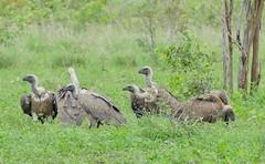 White-backed Vultures (Gyps africanus) (berniedup) Tags: phabeni kruger whitebackedvulture gypsafricanus vulture taxonomy:binomial=gypsafricanus