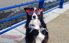 It'll be fun they said... (ASHA THE BORDER COLLiE) Tags: red nose day comic relief begging bowl glasses donaghadee funny dog picture border collie ashathestarofcountydown connie kells county down photography