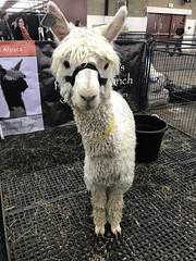 82/365/8 (f l a m i n g o) Tags: saturday 2019 16th march 365days project365 cute animal show alpaca