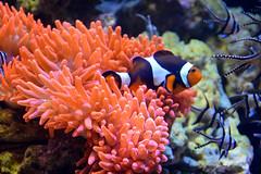 Clownfish (Amphiprioninae) (Seventh Heaven Photography) Tags: clownfish clown fish anemonefish anemone amphiprioninae pomacentridae orange white water aquarium nikond3200 chester zoo cheshire england pink sea banggai cardinal pterapogonkauderni pterapogon kauderni actiniaria