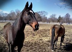 Horse, Danada Forest Preserve. 26 (e5) (Mega-Magpie) Tags: motorola moto e5 outdoors horse equine danada forest preserve wheaton dupage il illinois usa america