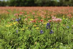 6D_Aransas (63)-Edit (Scott Sanford Photography) Tags: 6d canon eos naturalbeauty naturallight nature outdoor springbreak texas wildflowers beautiful bluebonnets flowers roadtrip spring