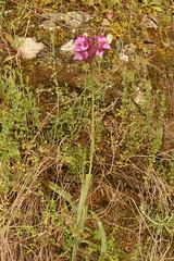 Anacamptis papilionacea (liesvanrompaey) Tags: taxonomy:kingdom=plantae plantae taxonomy:phylum=tracheophyta tracheophyta taxonomy:subphylum=angiospermae angiospermae taxonomy:class=liliopsida liliopsida taxonomy:order=asparagales asparagales taxonomy:family=orchidaceae orchidaceae taxonomy:subfamily=orchidoideae orchidoideae taxonomy:tribe=orchideae orchideae taxonomy:subtribe=orchidinae orchidinae taxonomy:genus=anacamptis anacamptis taxonomy:species=papilionacea taxonomy:binomial=anacamptispapilionacea anacamptispapilionacea pinkbutterflyorchid orchispapillon schmetterlingsknabenkraut orchideafarfalla סחלבפרפרני vlinderorchis taxonomy:common=pinkbutterflyorchid taxonomy:common=orchispapillon taxonomy:common=schmetterlingsknabenkraut taxonomy:common=orchideafarfalla taxonomy:common=סחלבפרפרני taxonomy:common=vlinderorchis