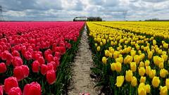 BANT, THE NETHERLANDS (pwitterholt) Tags: bant tulips tulpen tulipfields tulpenvelden tulip tulp canon canonsx40 canonpowershotsx40hs canonpowershot flowers clouds wolken red yellow rood geel noordoostpolder flevoland