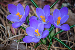 myyard2019-19 (gtxjimmy) Tags: sonya7ii sony alpha a7ii mirrorless massachusetts spring newengland flower crocus