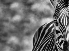 Zebra bokeh (Sheldrickfalls) Tags: burchellszebra bw blackandwhite zebra sebra kuduprivatenaturereserve kuduranch kudugameranch lydenburg southafrica mpumalanga