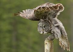 Great Gray Owl...#45 (Guy Lichter Photography - 4.7M views Thank you) Tags: canon 5d3 canada alberta wildlife animal animals bird birdw owl owls greatgrayowl