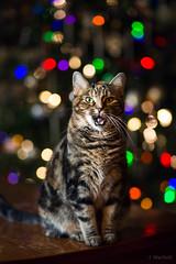 Christmas Cat (Jen MacNeill) Tags: christmas cat cats tabby feline holiday lights tree light holidays bokeh