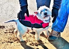My beautiful Samson (Artybee) Tags: westie westitude west highland white terrier dog fun mablethorpe beach coast
