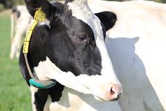 Delta  Snowfever Cadence (excellentzebu1050) Tags: dairycows livestock dairyfarm cow cattle animal animalportraits closeup outdoor grass coth5