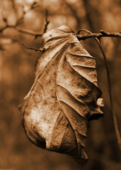 Close up on Sepia colored Leaf (Sam. Parker) Tags: thorndon county park essex january winter close up sepia colored leaf